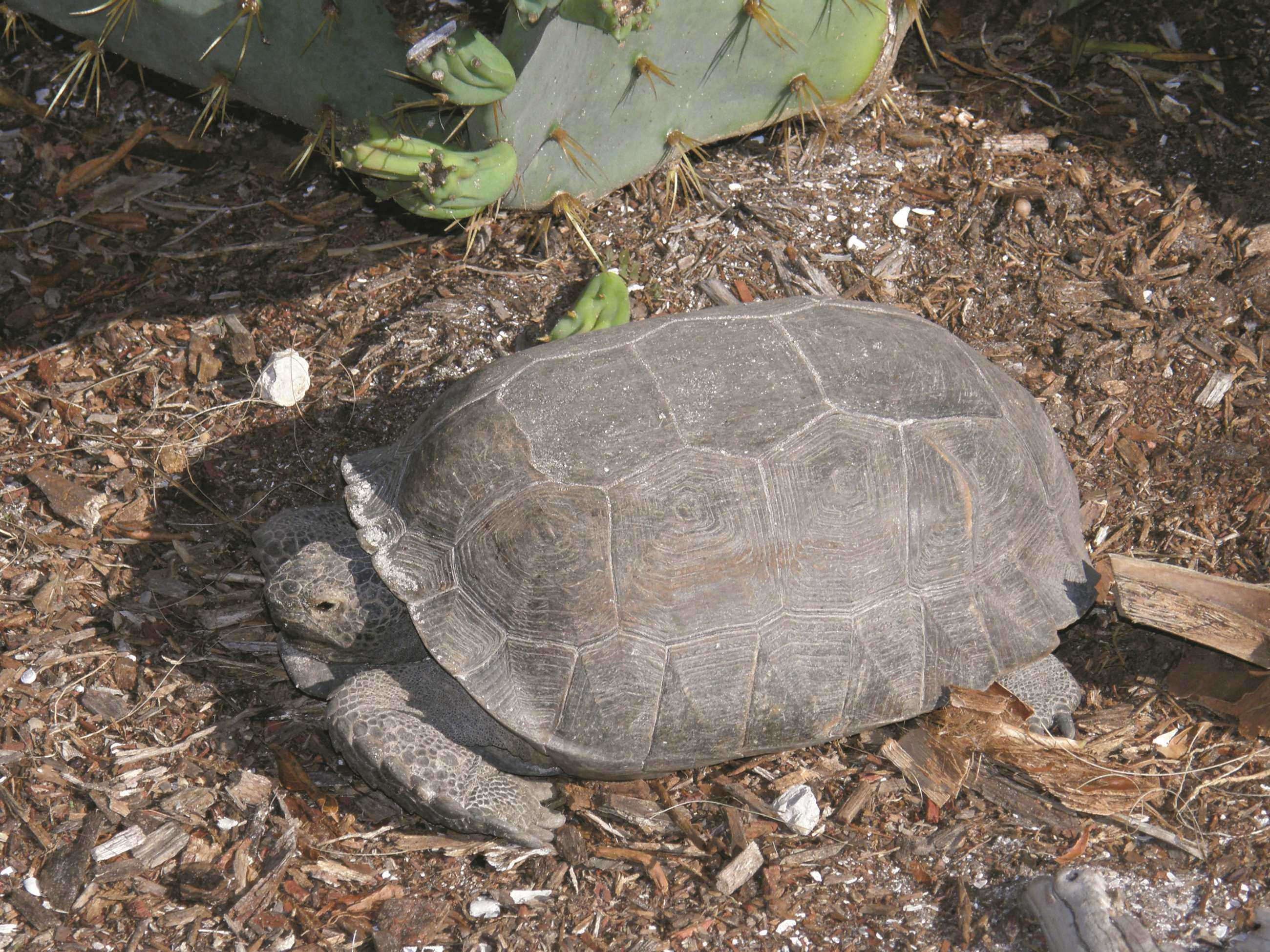 one of the many protected Gopher Tortoises living at Barefoo