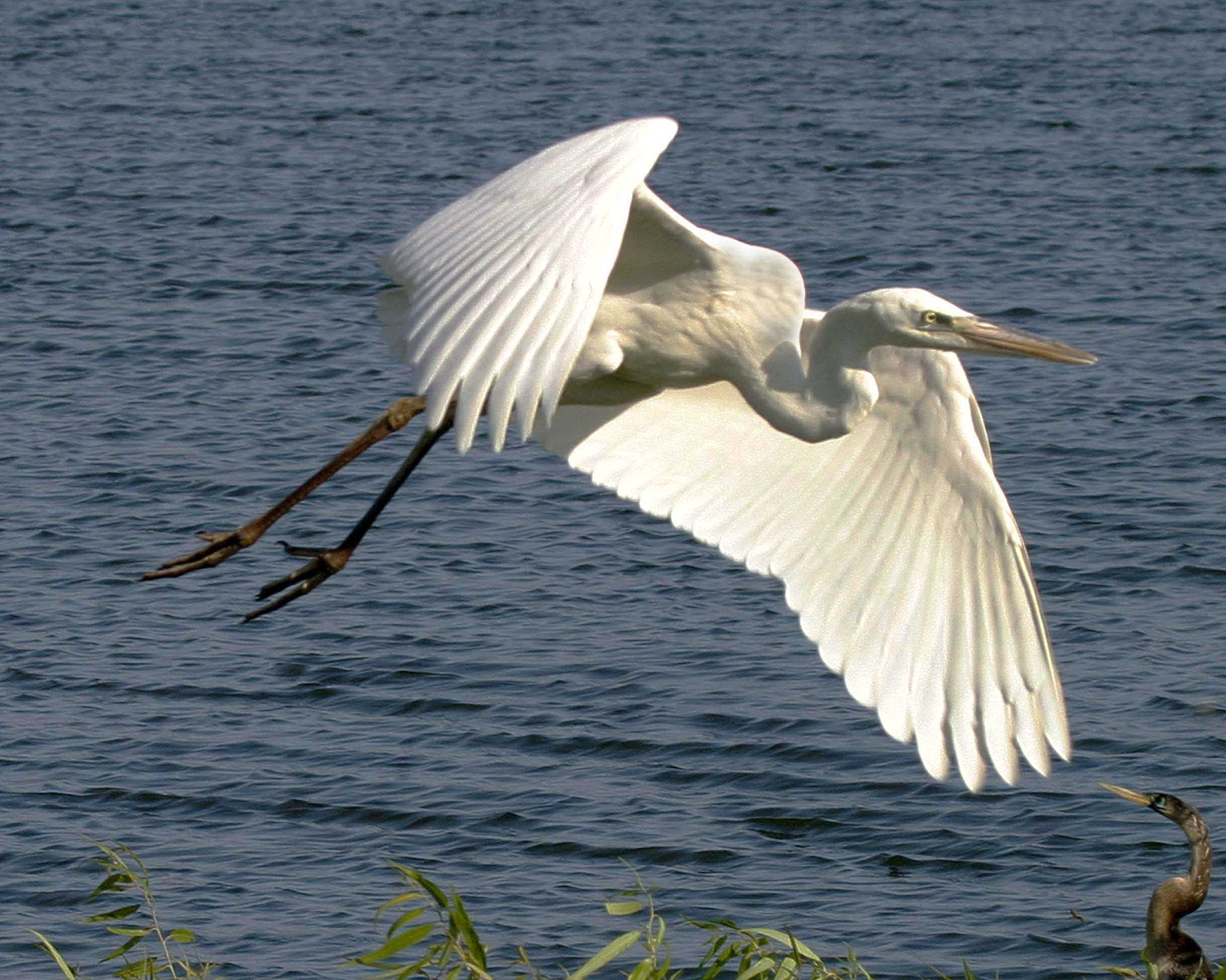 wht heron flying 4 344