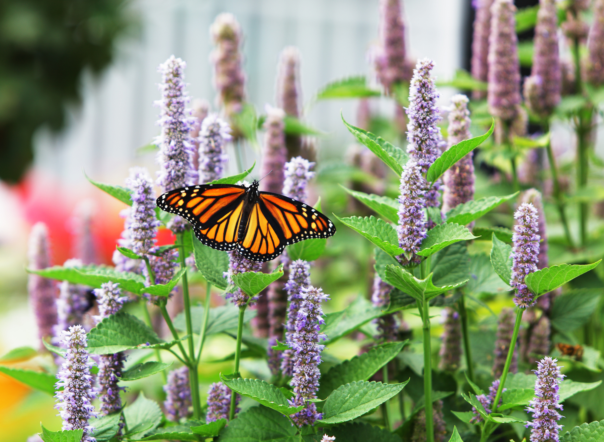 Monarch in Garden for web page